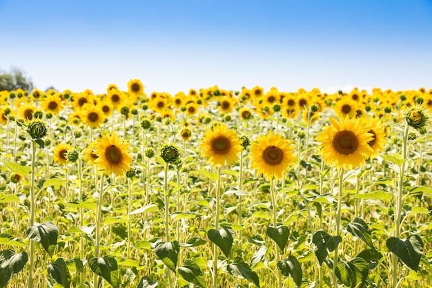 イタリアのひまわり畑。真っ青な空とトスカーナの風光明媚な田園地帯。