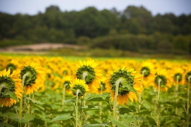 시골에서 해바라기 밭입니다. 가로 샷