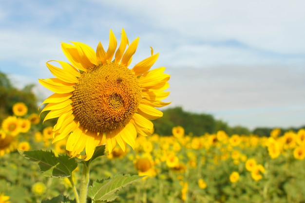 Sunflowers  field in the natural background.