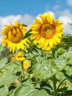 Sunflowers in field with cloudy blue sky background on summer day