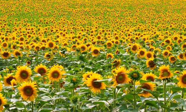 Подсолнухи садовые. подсолнухи имеют множество преимуществ для здоровья. подсолнечное масло улучшает здоровье кожи и способствует регенерации клеток