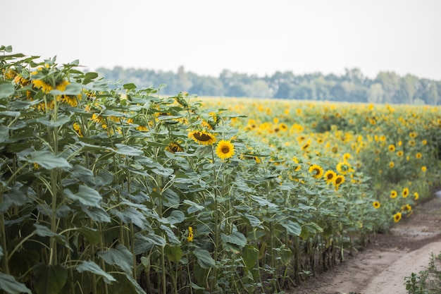 Sunflowers growing in a field. natural background. landscape with sunflowers.