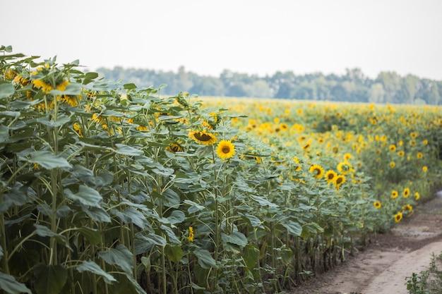 畑で育つひまわり。自然な背景。ひまわりのある風景。