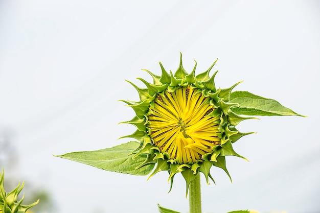Sunflowers or helianthus annuus in garden.