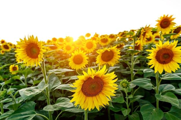 広い畑のひまわり。花のクローズアップ。