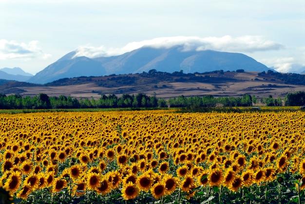 パレンシアとパレンティーナ山脈の北にあるひまわり。スペイン