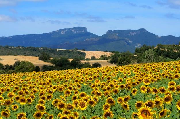 バルデゴビアのひまわり。背景にはバチカボ山。アラバ。バスク。スペイン