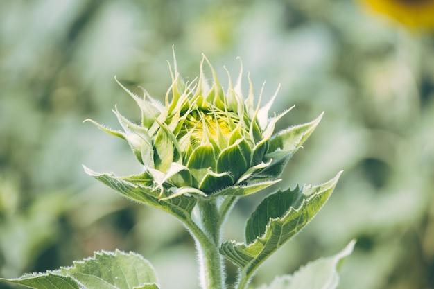Sunflowers is blooming in farm saraburi, thailand.