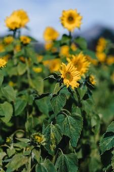Sunflowers at mountain field, alpine, bee