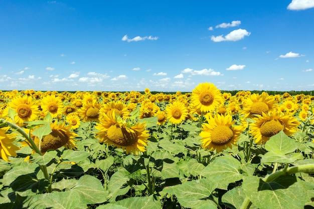 青い空の背景にひまわり農業農業農村経済農学の概念