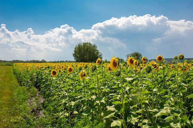 Подсолнухи на поле в яркий солнечный летний день. семян подсолнечника.