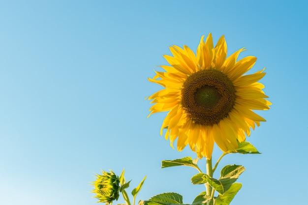 푸른 하늘 배경 위에 해바라기입니다. 해바라기 밭 풍경, 녹색 잎을 가진 밝은 노란색 꽃잎. 확대
