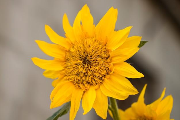 Sunflowers. sunflower in garden