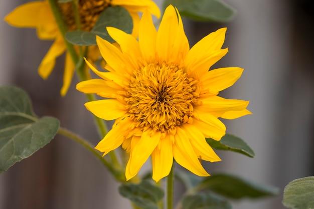 Подсолнухи. подсолнечник в саду. подсолнухи цветут в подсолнечном саду. подсолнечник, желтые цветы для сада. подсолнечник в природе. желтые подсолнухи.