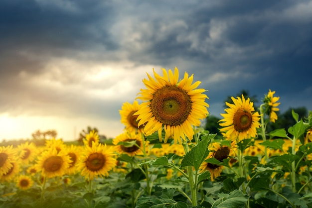 Sunflowers and sunset background