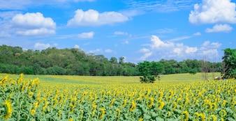 Sunflowers wide big and beautiful sky.