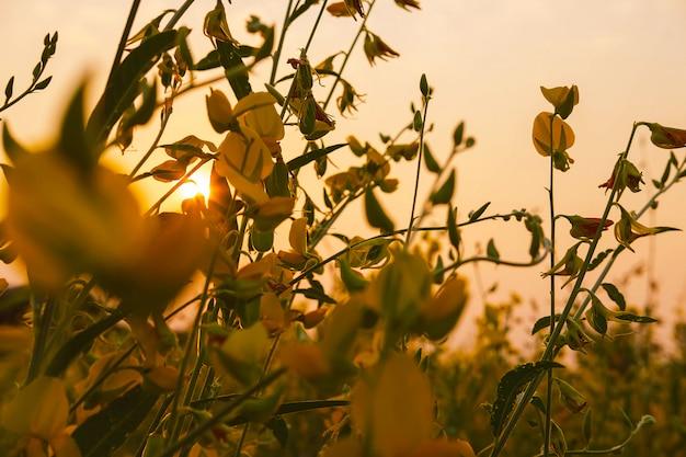 정원 꽃과 일몰 sunhemp 꽃