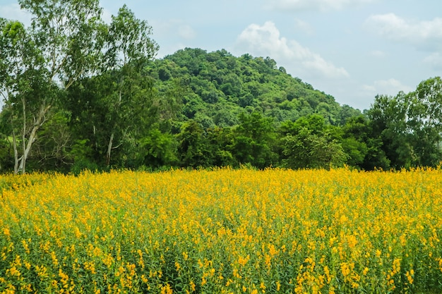 Sunhemp in the valley, beautiful yellow flower in field and green tree