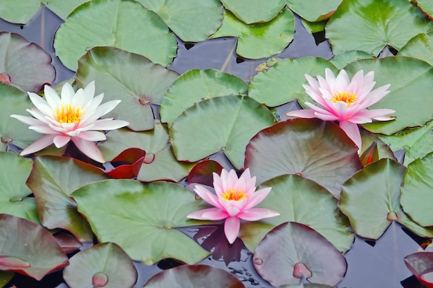 日光とピンクの睡蓮蓮の花。スイレンと池の花の風景。木の睡蓮。植物相と自然の概念。