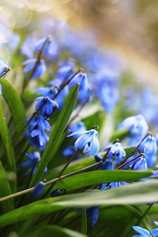 春の青い最初の花の日光と光線