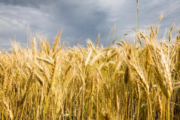 익은 곡물, 밀 또는 호밀, 화창한 여름날이있는 농업 분야의 햇빛을 밝게 비추는 작은 이삭