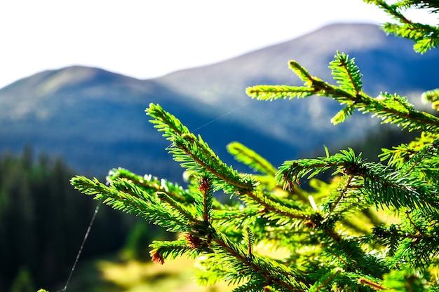 햇빛 녹색 침엽수 나뭇가지 클로즈업입니다. 전나무 지점입니다. 전나무 나무에 녹색 신선한 바늘입니다. 크리스마스 카드에 대 한 배경