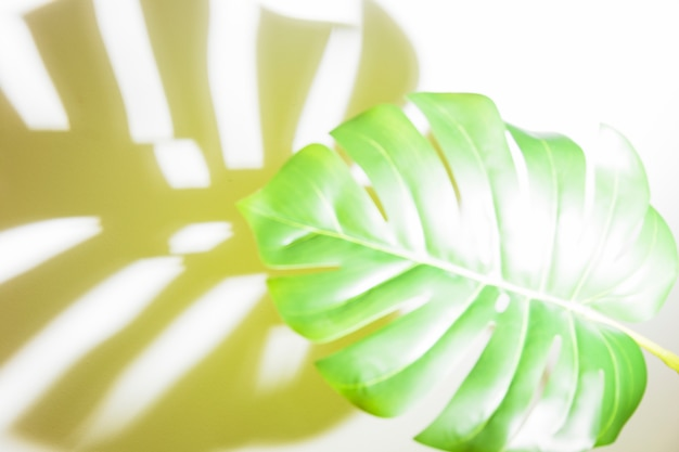 Sunlight on green monstera leaf with shadow on white backdrop