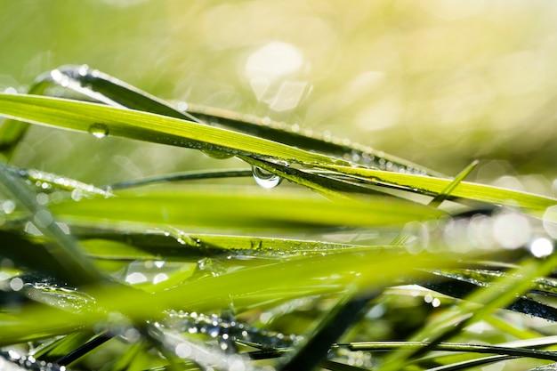Солнечный свет, освещающий зеленую траву блестящими каплями воды от росы и дождя, крупным планом на поляне