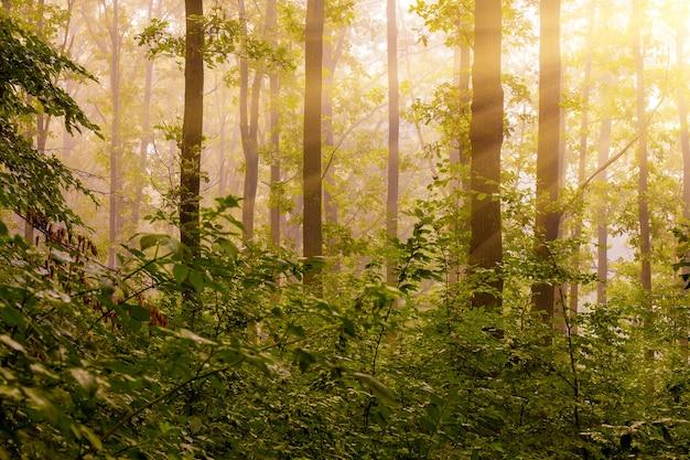朝の日差しが森を照らします。日の出の間の森の朝