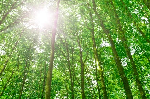 緑の夏の森の木々の日光