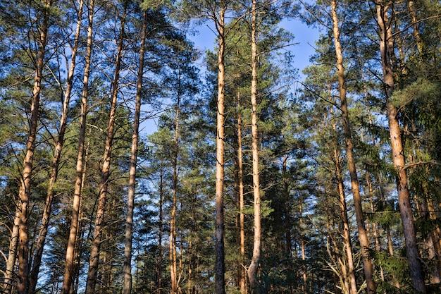 日光が森の中の背の高い古い松の木を照らし、クローズアップ