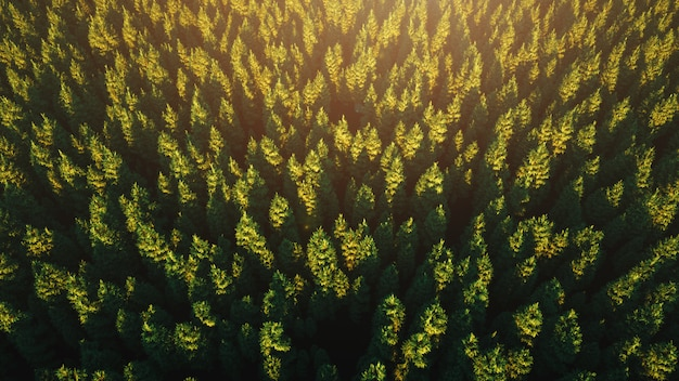 Солнечный свет над густым зеленым лесом