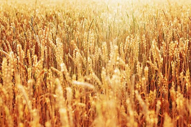 Солнечный свет над полем спелой золотой пшеницы. осенняя пора сбора урожая. выборочный фокус.
