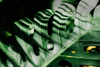 Sunlight over the green monstera leaf