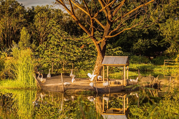 Sunlight reflection in pond with group of goose near pond surrounded by nature forest.