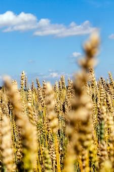 小麦の熟した穂のある太陽に照らされた畑、夏