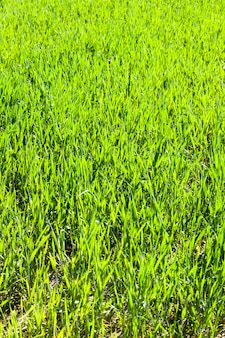 Sunlit green first good blades of millet agricultural field