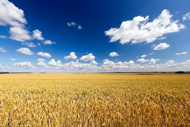 Sunlit landscape with a large crop of cereals that are ripe and withered