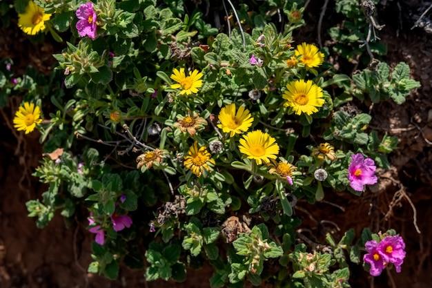 Залитый солнцем розовый ладанник и желтые мезембриантемы, цветущие в кабо-пино, испания