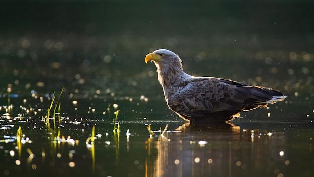 Sunlit белохвостый орел, болотная в мелкой воде летом на закате.
