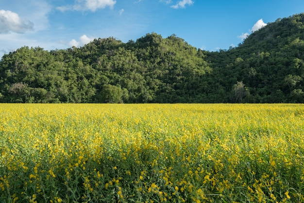 Sunn hemp, chanvre indien, crotalaria juncea yellow blossom in field with mountain