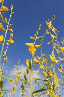 Sunn 대마 (crotalaria) 꽃