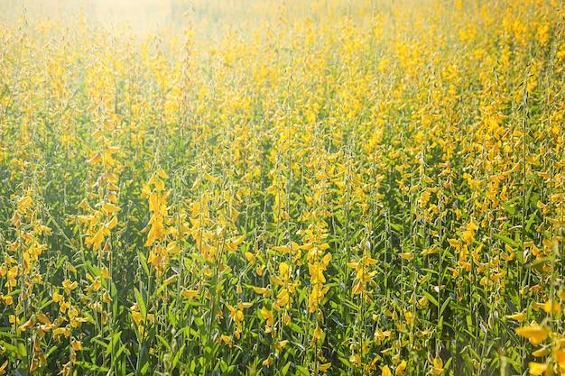Sunn hemp flowers swinging in the wind, abstract yellow flowers are in bloom in the wind, sunn hemp field in summertime.