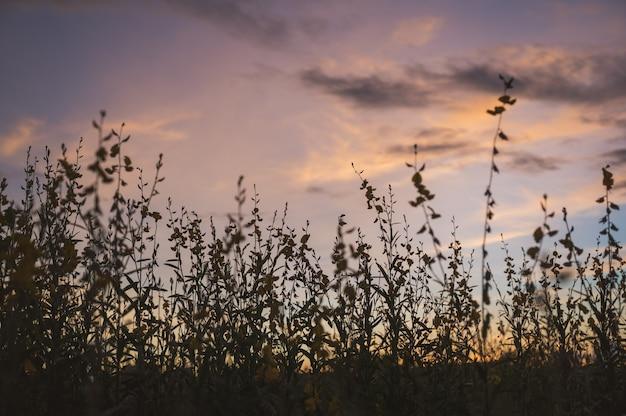 Конопля sunn, индийская конопля, тропическое растение crotalaria juncea с желтым цветком и вечернее небо