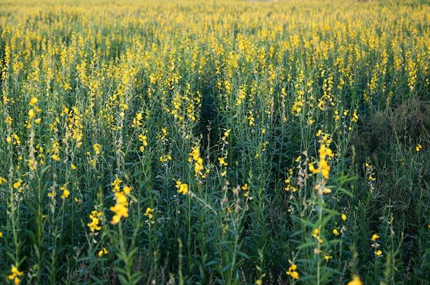 サンヘンプ、インド麻、crotalariajuncea黄色い花の熱帯植物のフィールド