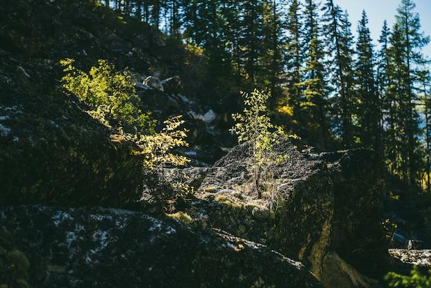 岩の上に金色の日光の下で黄色の葉を持つ小さな木と日当たりの良い秋の風景。秋の色の山の植物と美しいアルプスの風景。山の日差しの中で金箔で低木。
