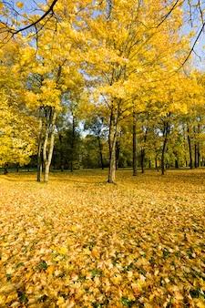 Солнечный осенний пейзаж с высокими деревьями, на которых желтая листва, солнечный свет освещает парк, настоящая осенняя природа и колорит