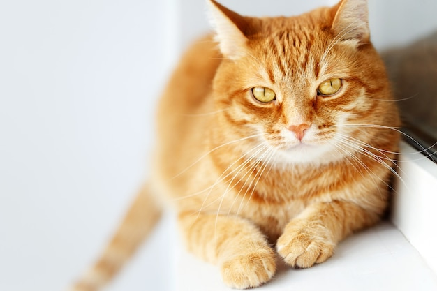 Sunny cute young ginger cat lying, white