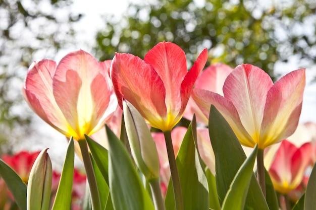 화창한 날: 이탈리아 전용 정원의 아름다운 튤립