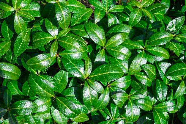 晴れた日。緑の植物の自然の葉の背景。自然の春のコンセプト。上面図